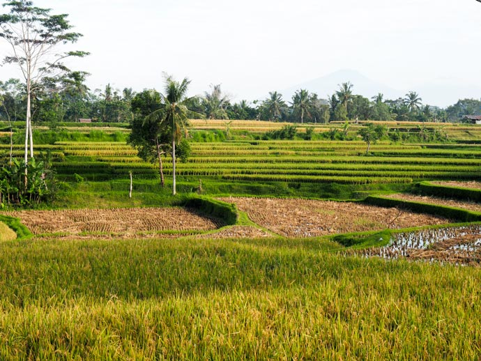 Rice Field Near Karsa Kafe Campuhan Ridge Walk