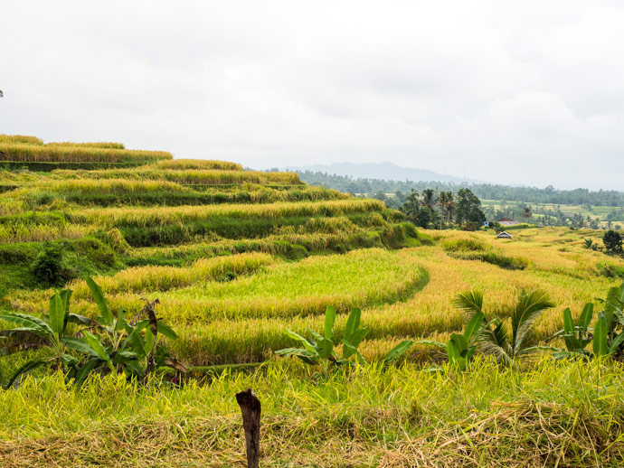 Golden Jatiluwih Rice Terraces