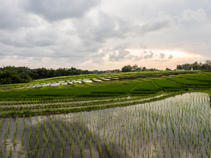 Rice Fields In Canggu Bali What You Will See