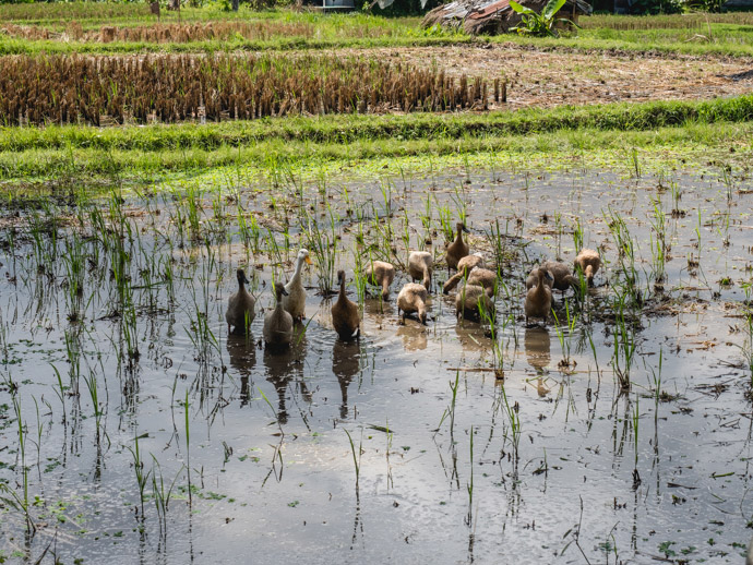 Ducks in the Rice Fields Ubud