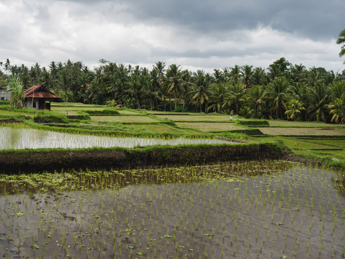 Subak Juwuk Manis Rice Fields Ubud